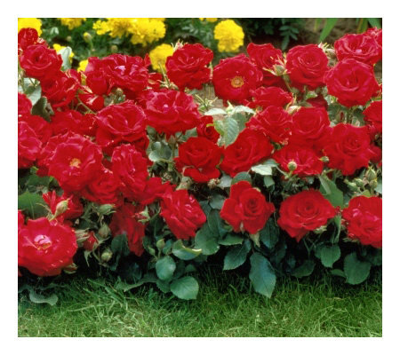 Cottage Farms 6-Piece Red Magic Groundcover Rose Collection