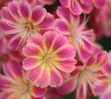 Hort Couture 3-Piece Lewisia Jewels Plant Collection
