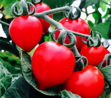 Hort Couture 6-Piece Heart Smart Patio Tomato Plants