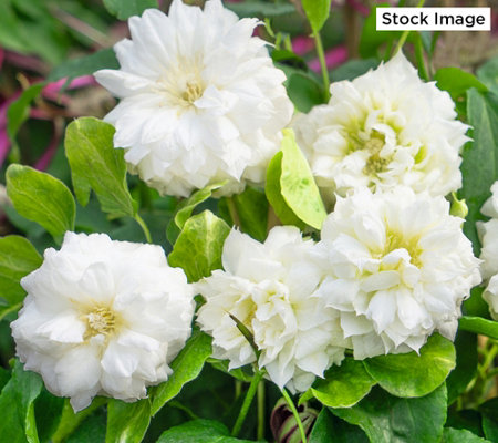 Roberta's 1-Piece 2-In-1 Polish Clematis