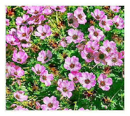 Qvc Cottage Farms Flowering Perennials | Droughtrelief org