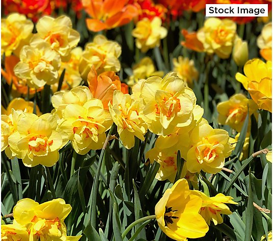 Roberta's 30-Piece Double Double Delight Daffodils Mix