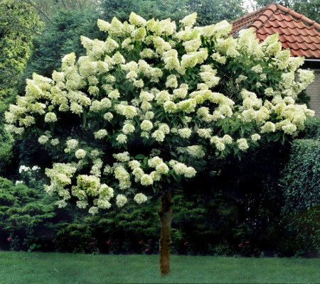 Cottage Farms 1 Piece Limelight Tree Hydrangea