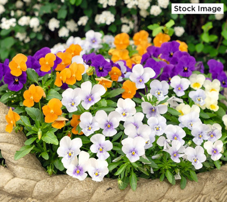 Roberta's 3-Piece Fragrant Penny Series Viola