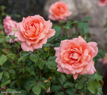 Roberta's 1-Piece Easy Elegance Sweet Fragrance Shrub Rose