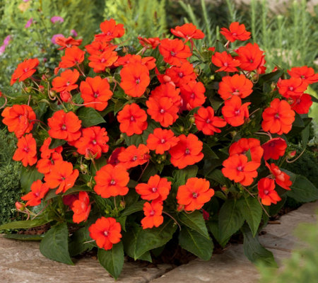 Cottage Farms 6-Piece_Electri c Orange SunPatiens