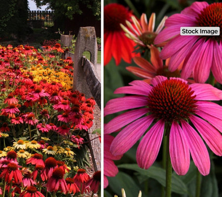 Cottage Farms 4-Piece Ultimate Rainbow Coneflowers