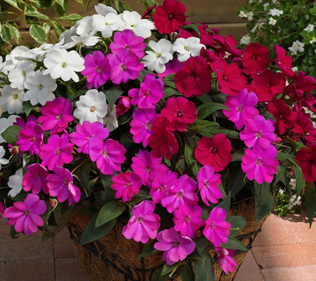 Phillip Watson Designs 6-Piece SunPatiens Best Friends Collection