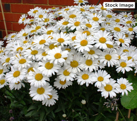 Cottage Farms 4-Piece Perpetuals Everblooming Shasta Daisies