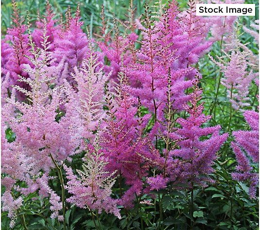 Cottage Farms 4-Piece Pollinator Perfect Astilbe