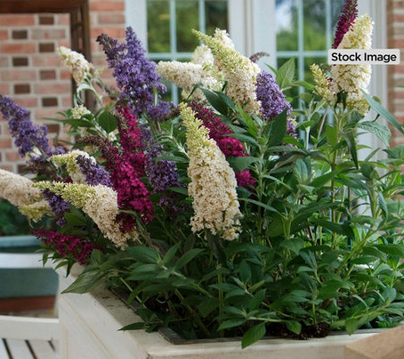 Cottage Farms 2-Piece Tri-Color Buzz Butterfly Bush