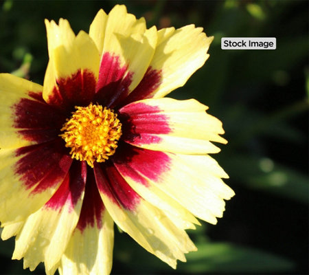 Cottage Farms 3-Piece Super Star Coreopsis Collection