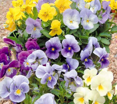 Hort Couture 6-Piece Garnish Pansy Plant Collection