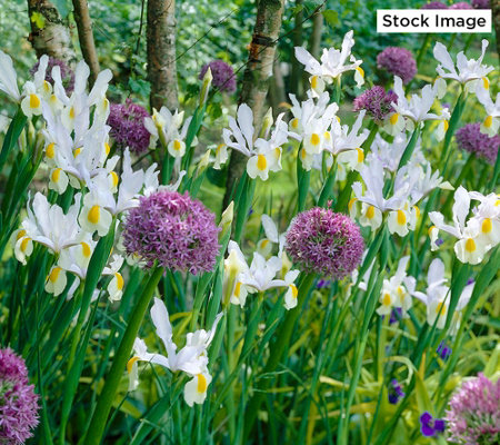 Roberta's 48-Piece Dutch Iris Mix