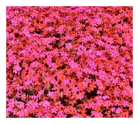 Cottage Farms 9 pc Scarlet Flame Carpet Phlox Groundcover