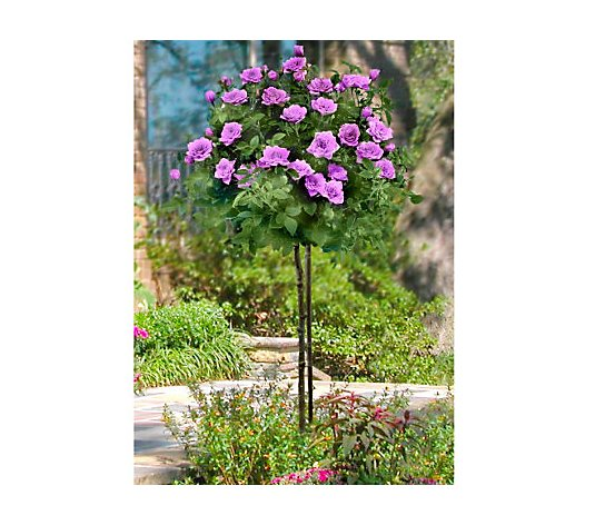 Cottage Farms 36 Lavender Lace Mini Patio Tree Rose Qvc Com