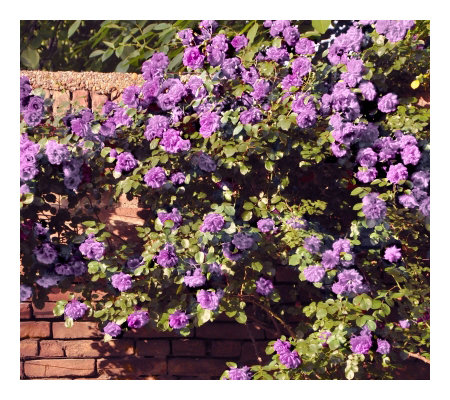 Cottage Farms 2-Piece Climbing Angel Face Rose