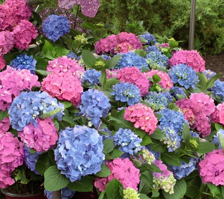 Cottage Farms 2 Piece La Dreamin Hydrangea