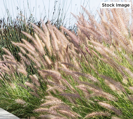 Roberta's 3-Piece Fancy Fountain Grass Collection