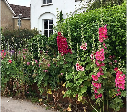 Roberta's 3-Piece Tall & Handsome Hollyhocks