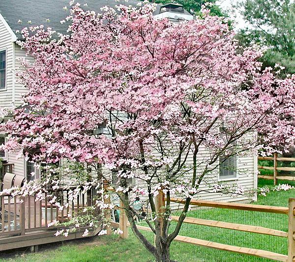 Cottage Farms Stellar Pink Dogwood Tree Page 1 Qvc