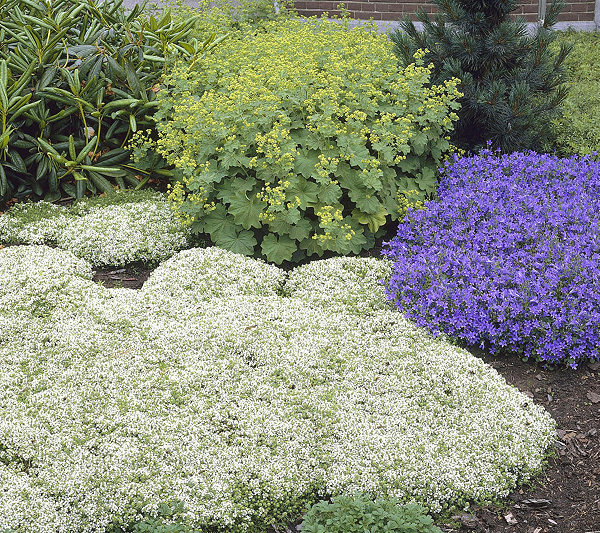 Thyme White Herb Aromatic Leaves White Flowers Summer