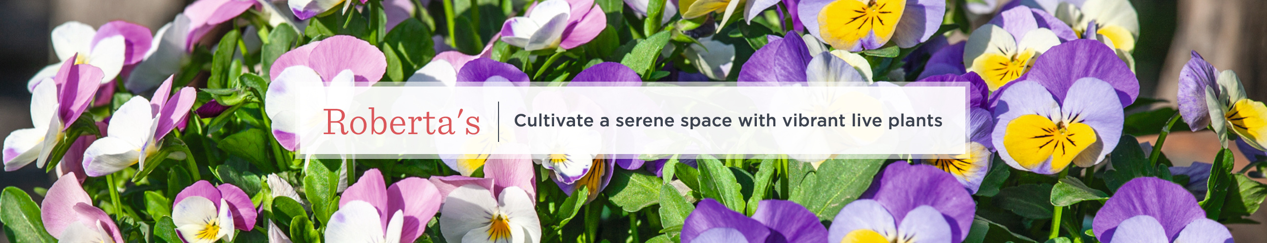 Roberta's.  Cultivate a serene space with vibrant live plants