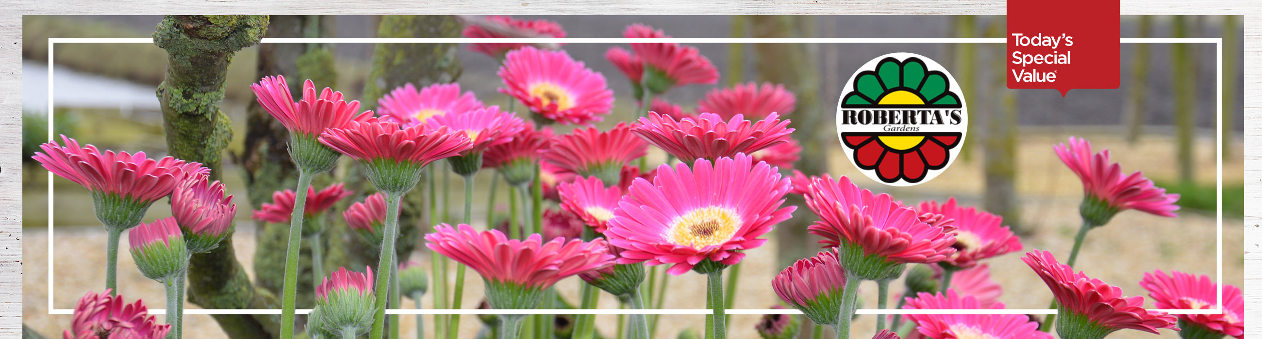 Today's Special Value® — Roberta's 6-Piece Super Sweet Hardy Gerber Daisies