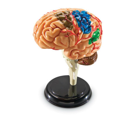 Brain Anatomy Model by Learning Resources