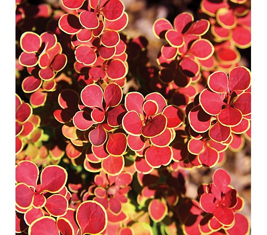 Thompson & Morgan 2 x Berberis Orange Sunrise 9cm Pot