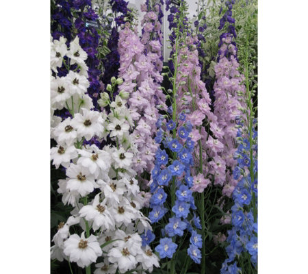 Mont Rose 10 x Delphinium Pacific Mix Young Plants