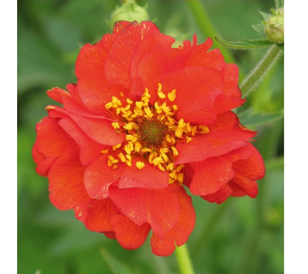 Mont Rose 3 x Geum Mrs Bradshaw Powerliners
