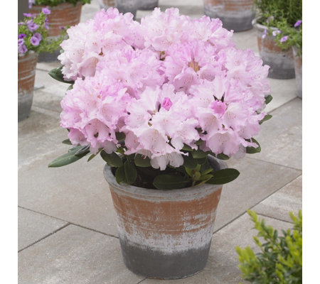 Hayloft Plants 3 x Dwarf Rhododendron Collection in 11cm Pots