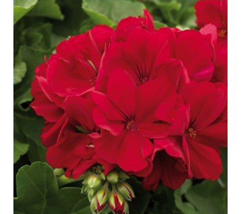 Hayloft Plants 9 x Calliope Geranium Dark Red Young Plants - 512513