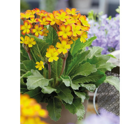Hayloft Plants 3 x Primula Mandarin Kisses 7cm Pots