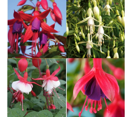 Mont Rose 12 x Hardy Fuchsia Young Plants