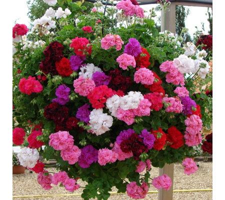 Hayloft Plants 10 x Geranium Sybil Mixed + 2 Cone Baskets