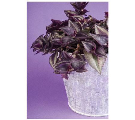 Thompson & Morgan Set of 2 Tradescantia Zebrina in 12cm Pots