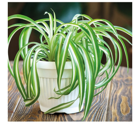 Thompson & Morgan Spider Plant in 12cm White Pot