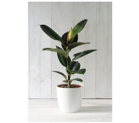 Thompson & Morgan Indian Rubber Plant in 13cm White Pot