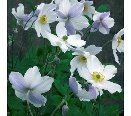Mont Rose 2x Anemone Wild Swan Bare Roots