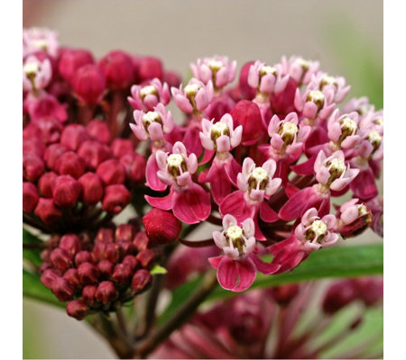 Mont Rose 3 x Asclepias Incarnata Soulmate Bare Roots