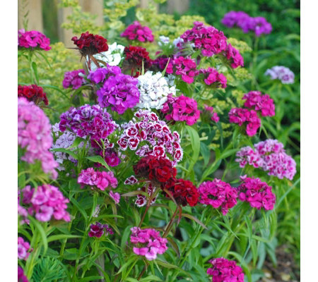Thompson & Morgan 30x Sweet William Mixed 6cm Young Plants
