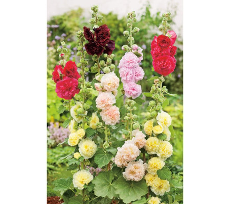 Suttons 15x Garden Ready Hardy Alcea Hollyhock Chaters in 4cm pots