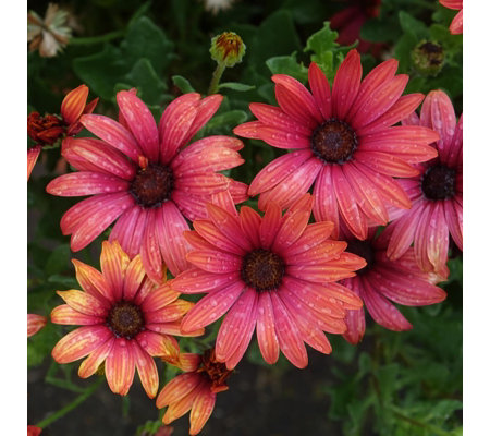 Mont Rose 10 x Osteospermum Erato Fire Young Plants