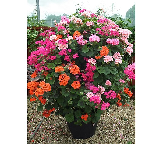 Hayloft Plants 2x Geranium Antiks 60cm Tall in 3 Litre Pots on Bamboo Canes