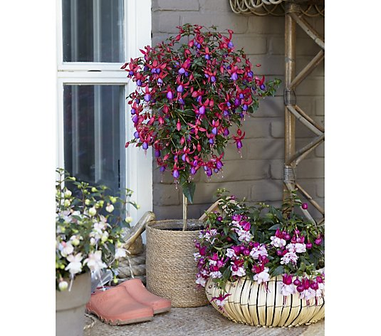 Thompson & Morgan 1x Fuchsia Standard Angela 19cm Pot