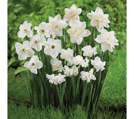 de Jager 20 x Wonderful White Daffodils