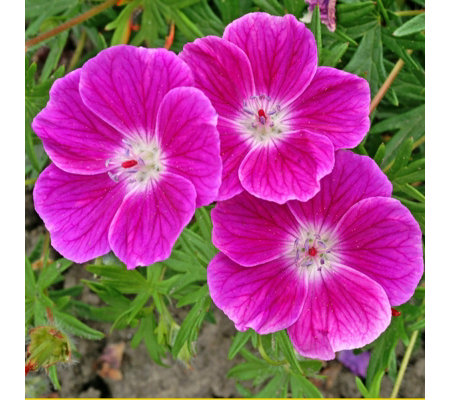 Mont Rose 3x Geranium Elke Powerliners