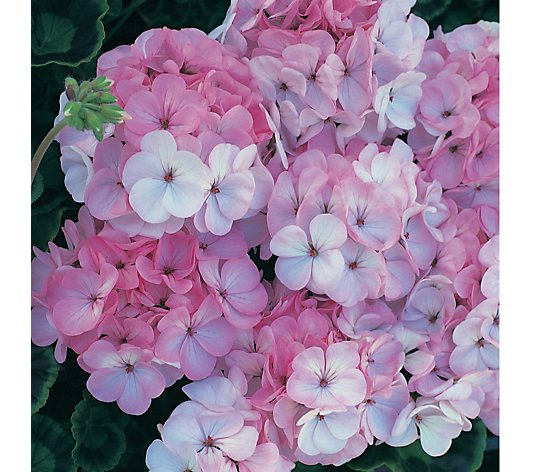 Thompson & Morgan Geranium Horizon 30xAppleblossom Garden Ready Plants